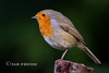 Robin (Nigel Dell) Tags: autumn robin birds seasons wildlife places hampshire fsg ngdphotos