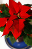 christmas is coming (bruciebonus) Tags: christmas red plant december poinsettia dec 365 2012 leaved 366 project365 365photos 365make1shotperdayfor1year 365project2012 2012366photos 366photos2012