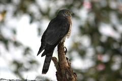 Lonely Bird (Masud Al Mamun) Tags: wild green bird nest bangladesh cuckoo canon450d hawkcuckoo