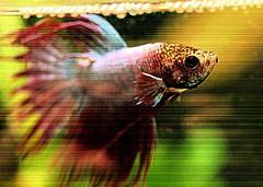 52 Weeks...Week 49: Texture (elliemae224) Tags: fish texture canon sushi bubbles beta fishbowl scales 2012 week49 siamesefightingfish getnoticed thedailypost 522012 52weeksthe2012edition weekofdecember2