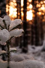 Snow on fir (Micael Carlsson) Tags: christmas wood trees winter sunset snow tree vinter day sweden karlstad card skog twig fir gran wilderness scandinavia holliday celebrate träd värmland skogen gren varmland stockfallet
