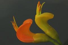 Castanospermum australe (andreas lambrianides) Tags: macro australian bean fabaceae wildflower castanospermumaustrale moretonbaymoretonbaychestnutbeantreeblackbeanbean blackmoretonbaybean