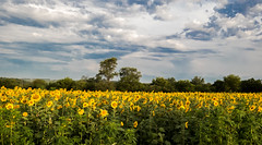 20160723-IMG_0083 (MandoCatDSM) Tags: sunflowers badger creek wildflowers sunrise