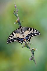 L'aquilone (Raffaella Coreggioli ( fioregiallo)) Tags: natura nikon fioregiallo fiori fiore fioregiallophoto macro insetti farfalle papiliomachaon foglie