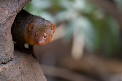 Dwarf mongoose (Juho Mkinen) Tags: korkeasaari zoo animal finland summer mongoose dwarf cute canon 7d 100400
