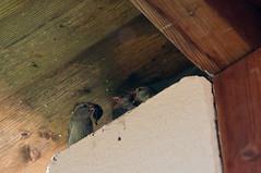 Ftterungszeit (koDesign) Tags: roof house bird cherry schweiz nikon feed passerdomesticus vogel spatz switerland d300 kirsche ftterung frenkendorf haussperling jungvgel unterdach sigmaapo70200mmf28exdgmakrohsm