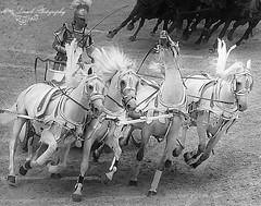 puy du fou (laurek.photography) Tags: horse chevaux cheval course char puy du fou monochrome black white vende france