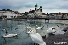 SWANS (welenna) Tags: switzerland schwitzerland sky swan swans schwan architecture luzern evening abend autumn herbst vögel bird river fluss water wasser
