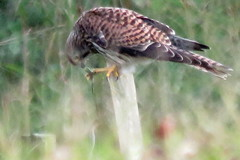 Kestrel Aug 2 (Tyrone Williams) Tags: kenfig kenfignaturereserve kenfignnr nature wildlife floraandfauna august countryfile canon cxanonsx60hs canonsx60hs flora fauna plants sx60hs