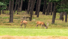 red deer, edelhert (a.limbeek) Tags: