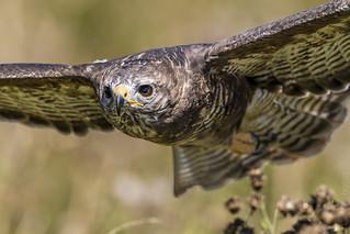Buzzard (Buteo buteo) in flight.