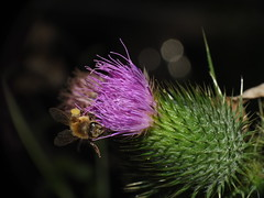 "Pollen Covered Honey Bee, Thistle Flower and three ""Orbs"" SOOC Super Macro DSCF3960 (Ted_Roger_Karson) Tags: fujifilmxs1 raynoxdcr150 honeybee thistleflower handheldcamera northernillinois add tags beta fujifilm xs1 honey bee flying bees thistle flower hand held camera northern illinois raynox dcr150 super macro lens thisisexcellent flowerhead flowers back yard friends twop bug hd fuji eyes macrolife m150 macroscopic pollen animal outdoor insect pollinator plant depth field backyard animals"