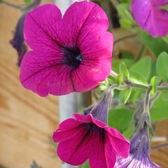 Fairbanks AK ~ pretty Petunias - HBW! (karma (Karen)) Tags: fairbanks alaska flowers dof bokeh bokehwednesdays hbw