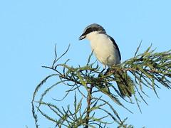 Loggerhead Shrike 03-20160818 (Kenneth Cole Schneider) Tags: florida miramar westbrowardwca