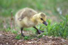 Put your best foot forward (Captions by Nica... (Fieger Photography)) Tags: goslings gosling baby bird geese birds wildlife nature cute sweet adorable outdoor grass quebec canada animal