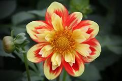 A BEAUTIFUL FLOWER FOR YOU!! (Uhlenhorst) Tags: 2016 germany deutschland plants pflanzen flowers blumen blossoms blten ngc npc