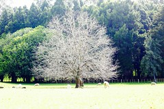 Ghost Tree (Psychic Insights) Tags: outdoor trees parks green nature spring seasons newzealand sparse grey white ghost