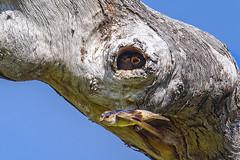 2:54pm, lagoon creek, tree matrin and young (Fat Burns  (gone bush)) Tags: treemartin petrochelidonnigricans martin smallbird bird australianbird fauna australianfauna nature outback outdoors nikond750 sigma150600mmf563dgoshsmsports sigmatc140114xteleconverternik