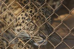 065_Great Cats Park_Jaguar (steveAK) Tags: greatcatsworldpark jaguar
