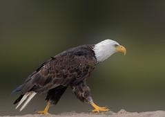 Grounded Eagle (wrpryde) Tags: nikon nature natur naturaleza nikkor300mm ontario eagle raptor canada closeup amercianbaldeagle bird oiseau