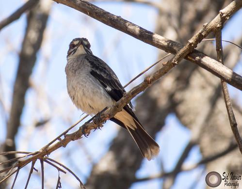 grey monjita (Xolmis cinereus) - 2