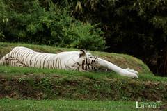 Tigre blanc - Zoo La Fleche - 20160817 (0947) (laurent lhermet) Tags: sel55210 zoo zoodelafleche tigre tigreblanc