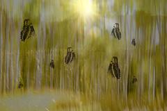 Fall is Fleeting~Catch it (Karen McQuilkin) Tags: fallisfleeting~catchit goldenlight butterflies aspens autumn god karenmcquilkin grass sunburst intentionalcmaeramovement