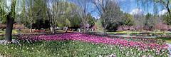 Tulip Top.  (Floriade, Not) (aaardvaark) Tags: 20160925p1020515tuliptoppanorama65x21 tulips garden flowers tuliptop canberra australia