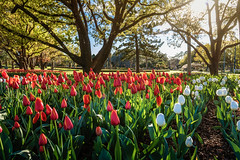 Tulips at Laurel Bank Park (jan_clewett) Tags: toowoomba laurelbankpark tulips