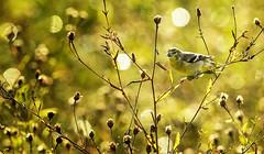 Golden Sunrise (paulv2c) Tags: bird wild nature sunrise goldfinch finch outdoor autumn gold longisland li natureconservercy coldspringharbor