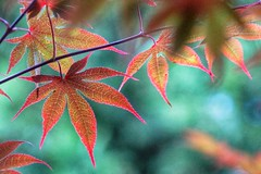 Maple leaves (JPShen) Tags: leaf leaves maple colorful bokeh changing color autumn
