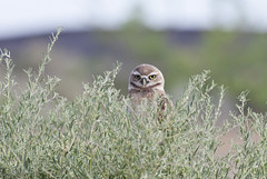 Burrowing Owl Chick; Los Lunas, NM [Lou Feltz] (deserttoad) Tags: nature newmexico bird wildbird raptor owl owlet desert behavior migration