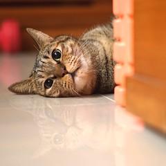 All Photos-1470 (lazybonessss) Tags: sonya7 cat leica elmaritm90 sonyilce7 kitten nana
