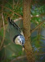 Ipswich_7002_edited-1 (SharonCat...) Tags: birds finch woodpecker ipswichmassaudobonwildliferefuge ipswichmassaudobonwildlifesanctuary nuthatch chickadee