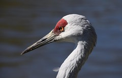 Sandhill Crane (careth@2012) Tags: portrait bird wildlife nature sandhillcrane neck headshot ngc