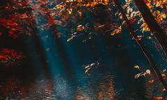 Autumn mist (Steve-h) Tags: nature natural sun rays autumn fall leaves river water reflections backlight contrajour contraluz colour colours orange gold green black haze november dublin ireland europe steveh canon camera lens ef eos digital exposure 2015