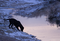 Early Morning Haze (Faba Photography) Tags: winter dog nature river labrador purple drinking lila fluss trinken