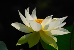 Pure Ecxtasy! (ineedathis) Tags: white flower green nature beautiful beauty yellow pond lotus exotic watergarden tropical empress botany orang nelumbonucifera nikond80 winterhardy