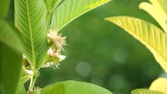 Guava Tree (•Saif•) Tags: india colors phoenix google kerala alive kochi saif hx200v sonydschx200v hx200 sonyhx200v sonyhx200vsampleimages sonyhx200vsamplepictures sonyhx200vpictures sonyhx200vpicturesquality sonyhx200vsamplephotos