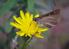 Soft landing (Miss Tiggywinkle) Tags: flowers yellow petals wings skipper insects lepidoptera moths creatures dandelions