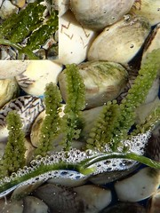 Frutti di Mare. Caulerpa lentillifera, Round Sea Grape, and Caulerpa racemosa, Oval  Sea Grape, from Sumbawa, on Geometric Clams from East Lombok, Indonesia (Rana Pipiens) Tags: sumbawa fruttidimare ishflickr lombokindonesia lesfruitsdemer mygearandme blinkagain indonesiaseafoodcaulerparacemosacaulerpalentilliferaovalseagrapesroundseagrapesseafoodclamsvongoleburnoliveshell