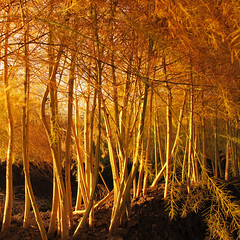 Autumn Asparagus Forest (Habub3) Tags: wood travel autumn light holiday plant flower fern fall nature forest canon germany garden landscape deutschland gold licht reisen flora europa europe stuttgart urlaub herbst natur harvest blumen powershot asparagus landschaft wald farn vacanze 2012 ernte spargel g12 fellbach sparrowgrass habub3 spargelkraut mygearandme