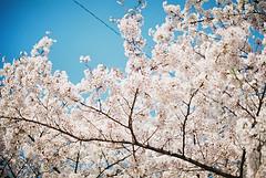 FH000030copy (jo-31) Tags: hana 京都 桜 olympusom10