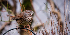 Song Sparrow Side Profile (mwbergeron01) Tags: bird sparrow songsparrow