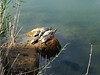 Turtles finding a place in the sun (VillaRhapsody) Tags: water turkey pond ancient many antique turtles lots fethiye lycian preroman letoon