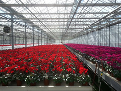 Cyclamen (oldoinyo) Tags: flowers interior architectural wholesale