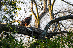 """Fish Eagle in Zambia • <a style=""""font-size:0.8em;"""" href=""""https://www.flickr.com/photos/21540187@N07/8293294635/"""" target=""""_blank"""">View on Flickr</a>"""