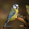 Blue Tit (Nigel Dell) Tags: winter birds flickr wildlife places hampshire fleet bluetit fsg ngdphotos