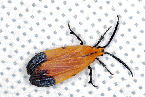 Arctiid Moth (Correbidia elegans) mimic of Net-winged Beetle (Calopteron sp.)