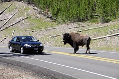 Bison Hitchhiker (Saumil U. Shah) Tags: road park travel wild usa hot tourism nature car animal animals rock fauna america nationalpark spring buffalo montana flickr colours natural nps earth wildlife ngc science tourist spray steam national sulphur yellowstone wyoming geology wilderness geyser sulfur bison volcanic erupt geothermal thermal vapour eruption shah caldron saumil npsgov saumilshah